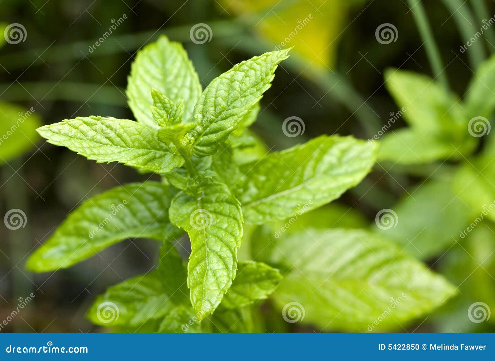 Fogli della menta verde