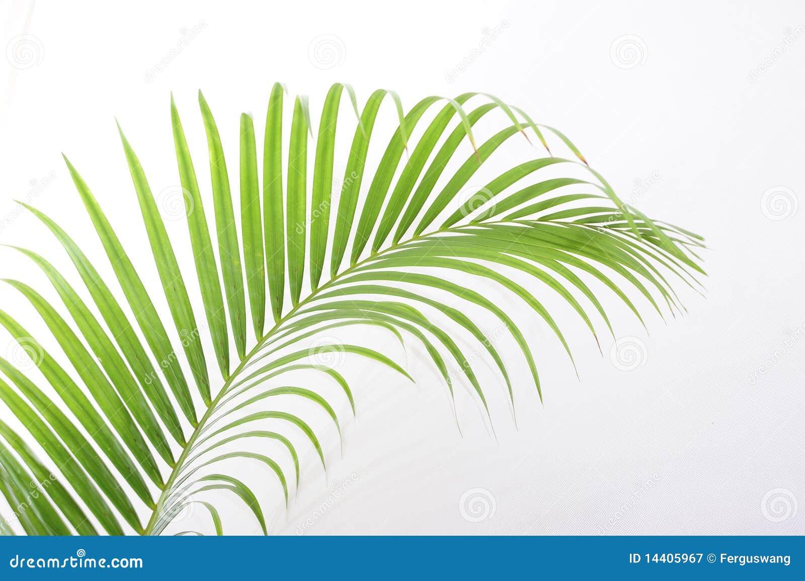 Fogli della palma
