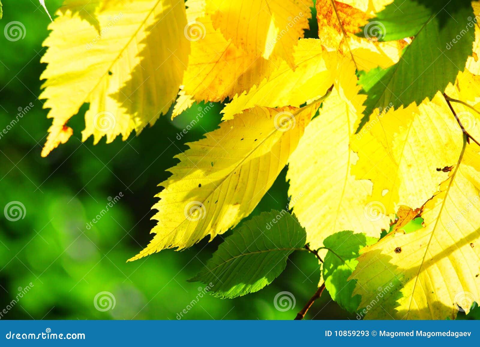 Fogli di colore giallo immagine stock immagine di autunno - Caduta fogli di colore stampabili ...