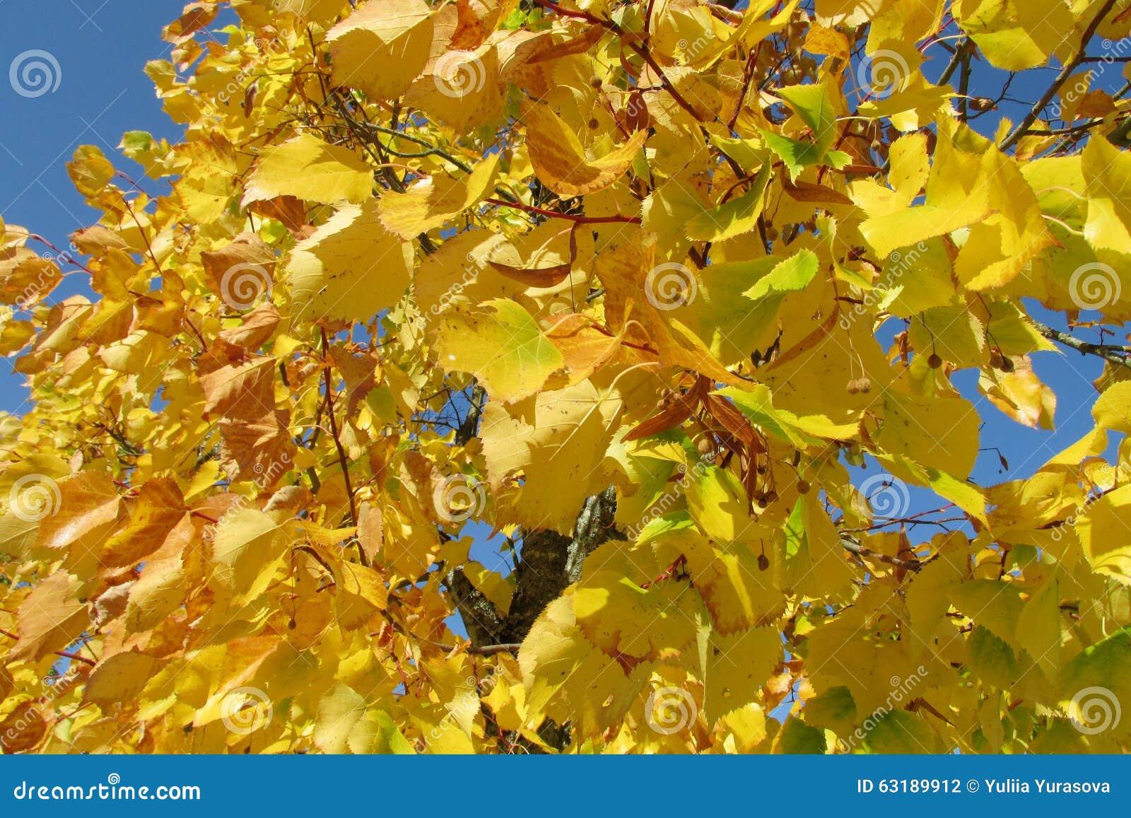Fogli di colore giallo sull 39 albero fotografia stock - Caduta fogli di colore stampabili ...