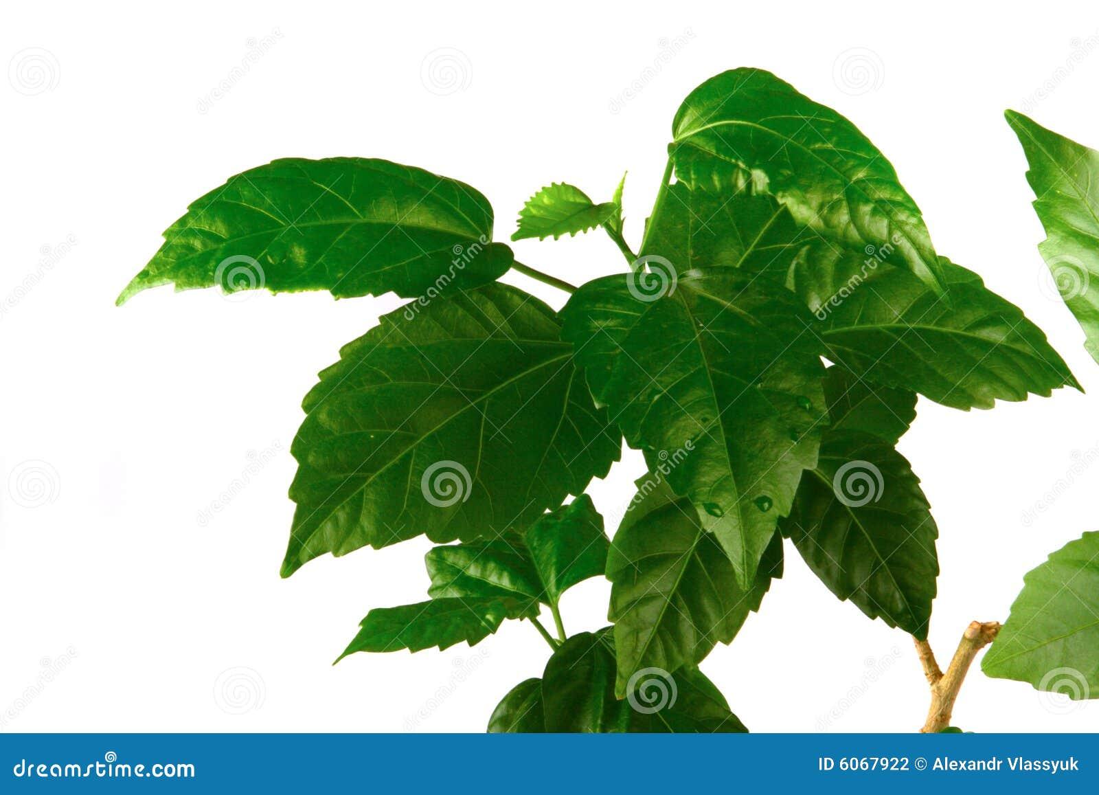 Fogli di verde fotografia stock immagine di colore - Caduta fogli di colore stampabili ...