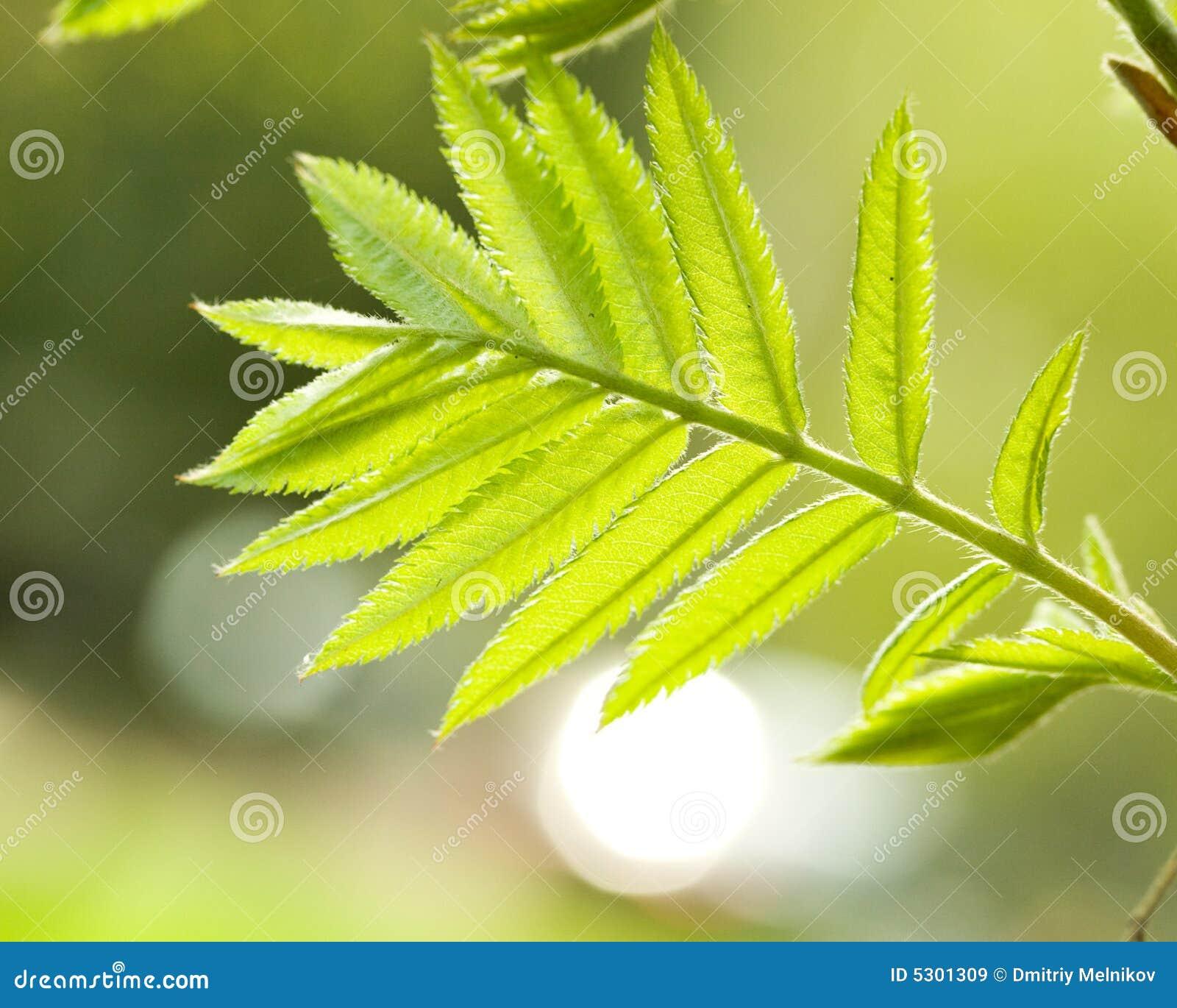 Download Fogli Freschi Della Cenere Di Montagna In Foresta Immagine Stock - Immagine di lush, sviluppo: 5301309