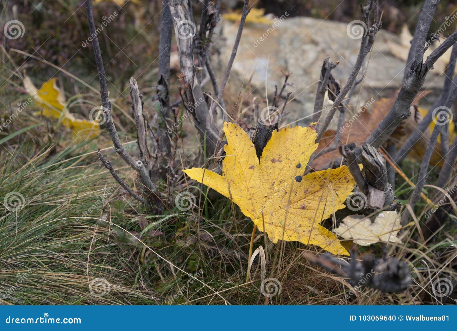 Foglia caduta di giallo dell acero