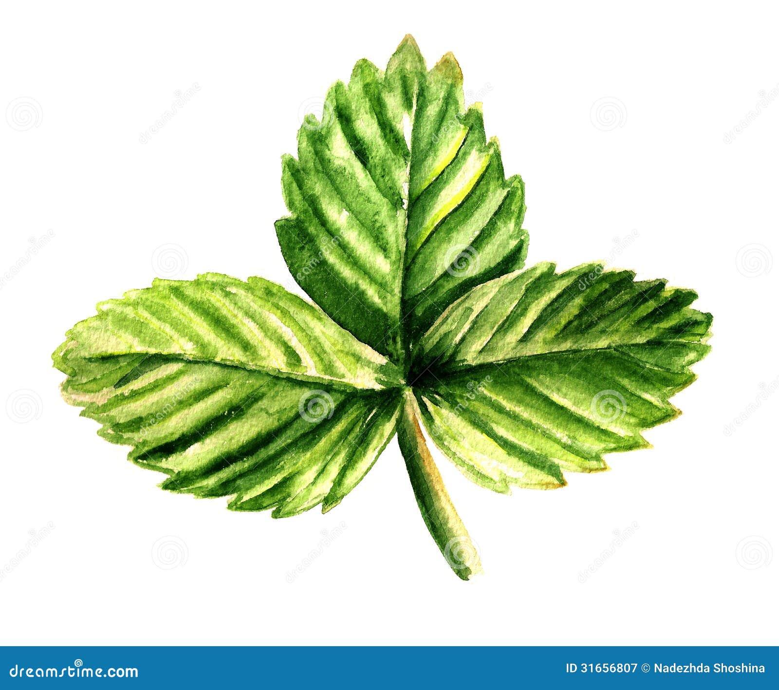 Foglia della fragola fotografia stock libera da diritti for Kiwi giallo piante acquisto