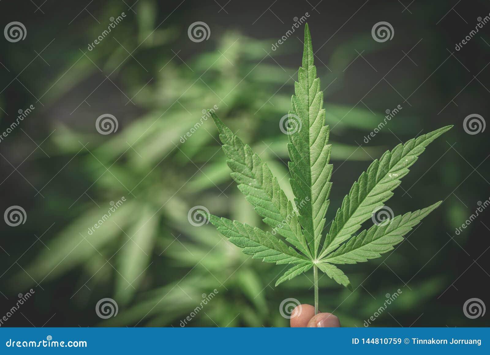 Foglia Della Marijuana Della Tenuta Della Mano Piccola Con ...