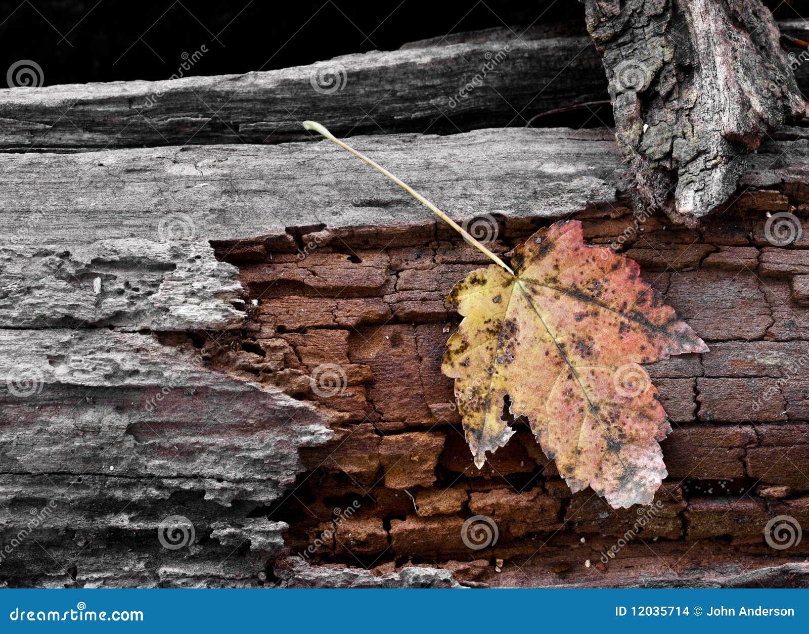 Foglia di acero fotografia stock immagine di autunno for Foglia acero