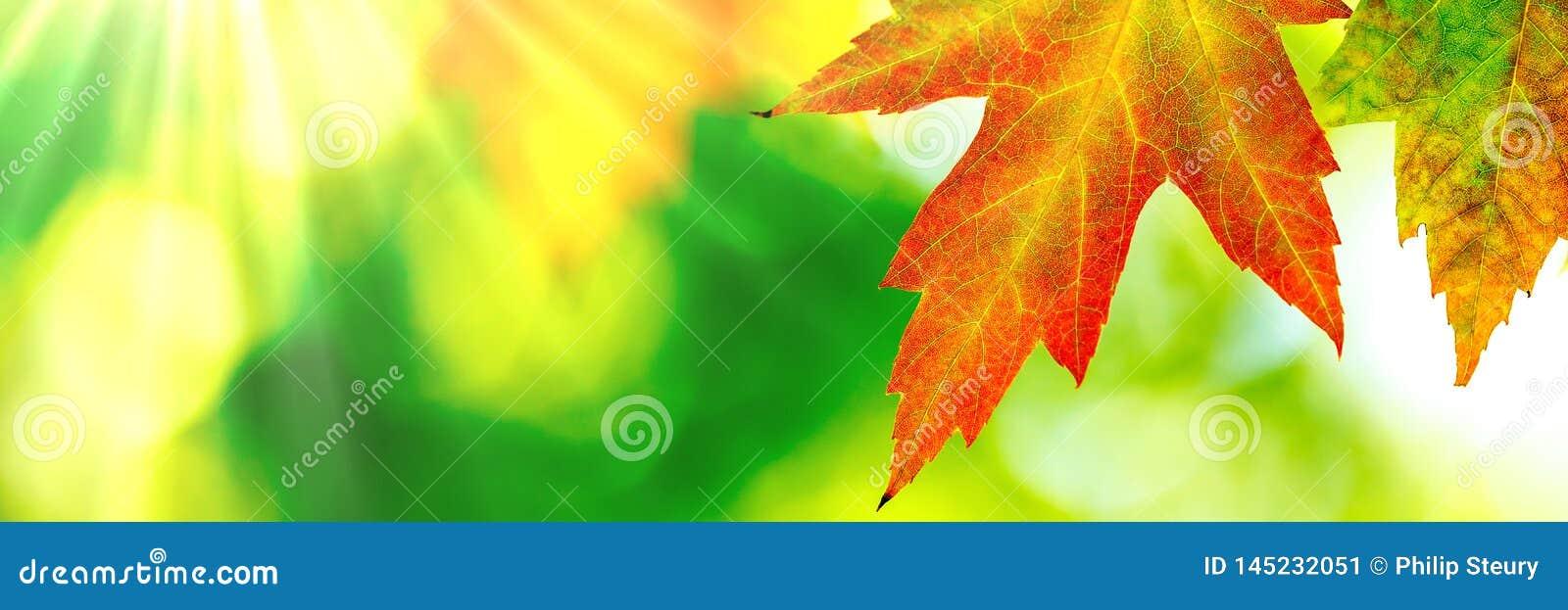 Foglia di acero di autunno