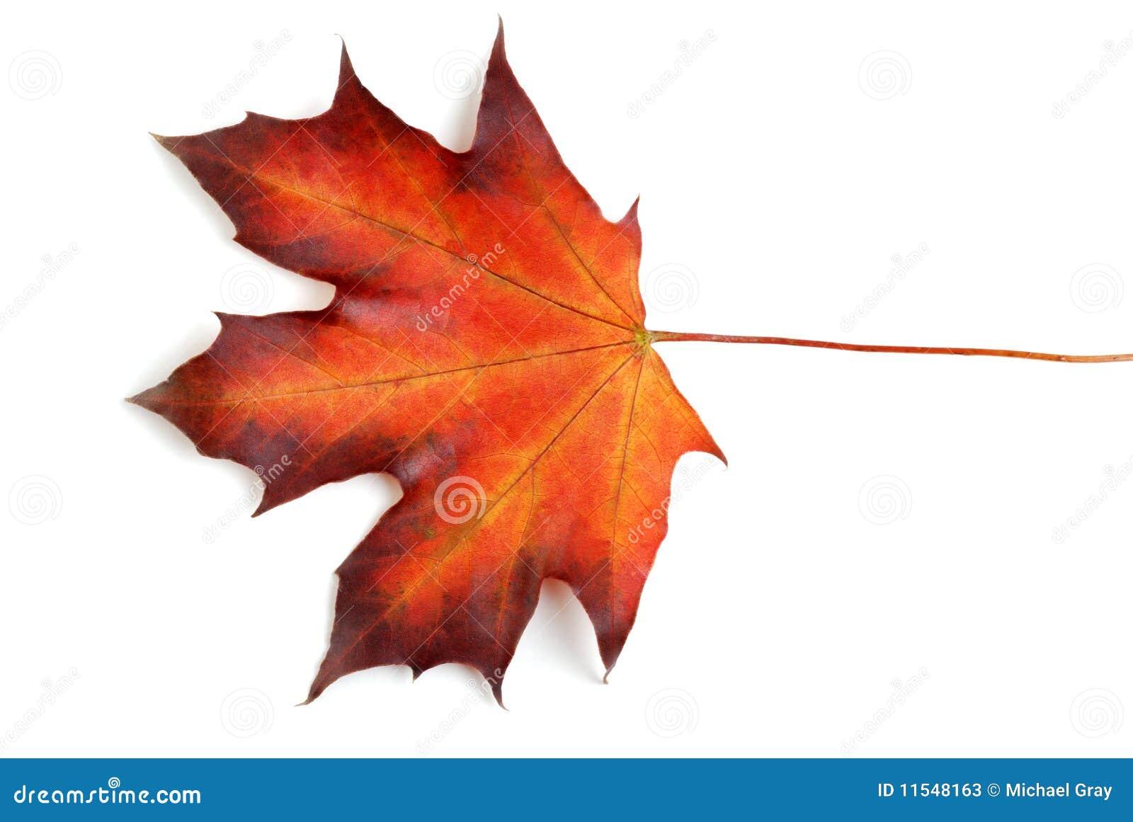 Foglia di acero canadese in autunno immagine stock for Foglia acero