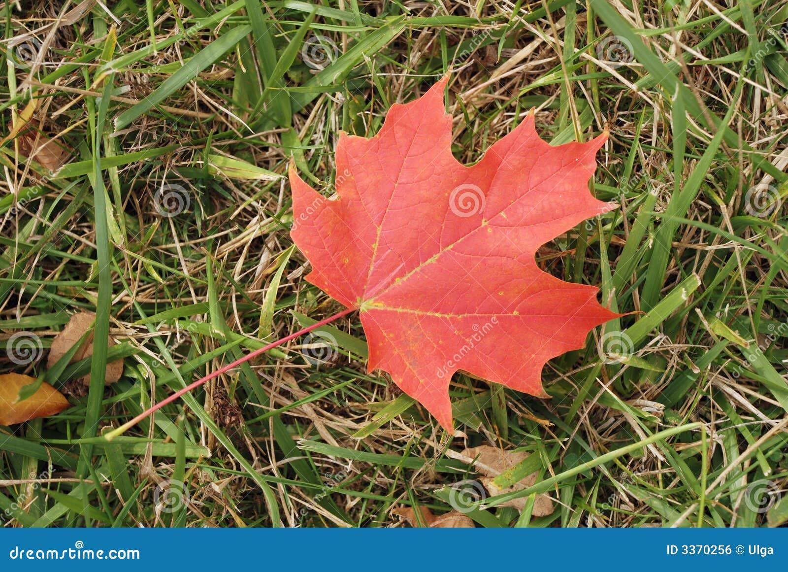 Foglia di acero canadese rossa immagine stock libera da for Foglia acero