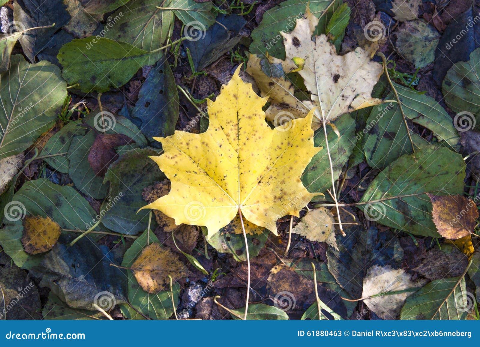 Foglia di acero gialla di autunno
