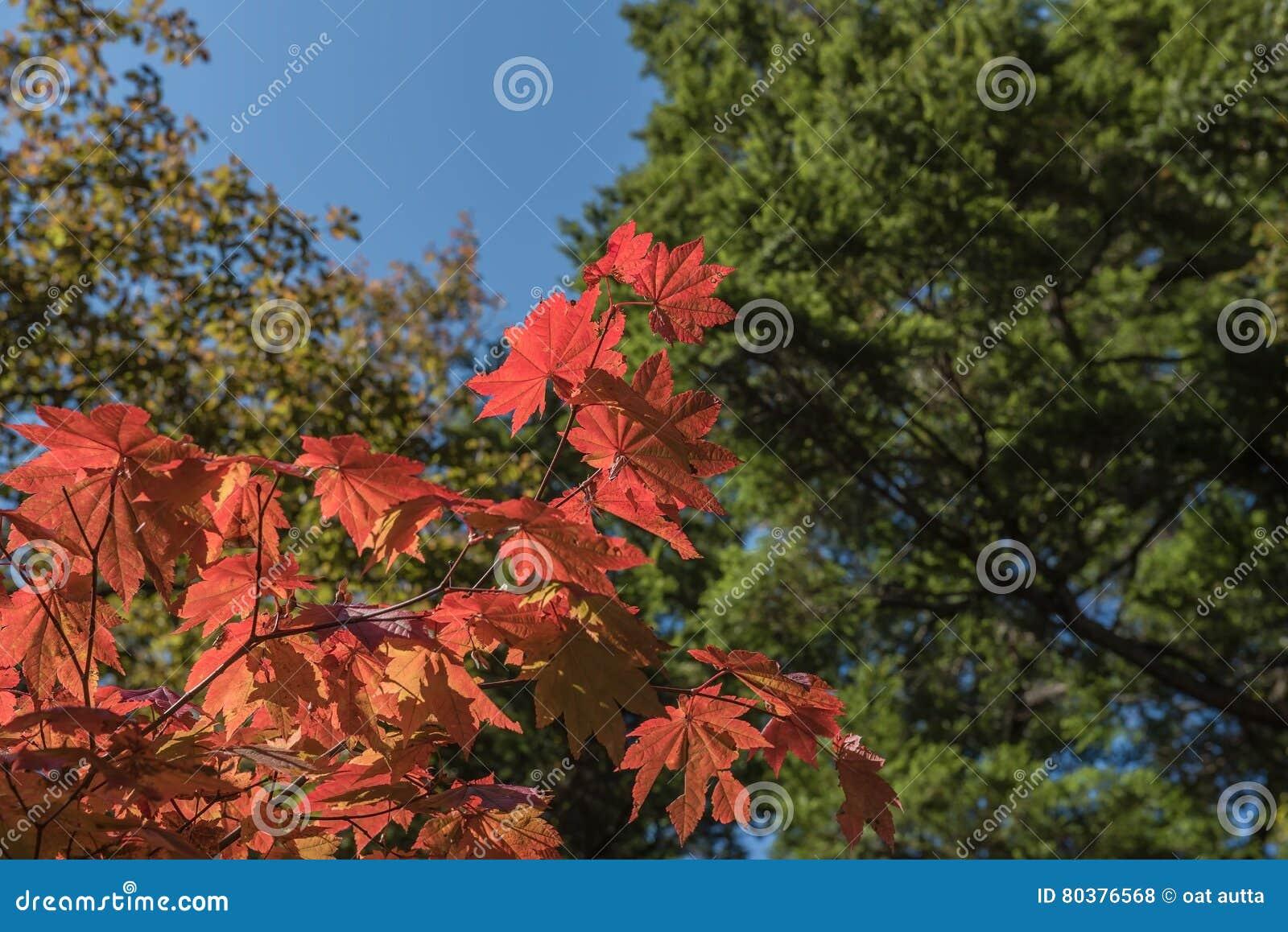 Acero Blu Giapponese foglia di acero giapponese rossa sul fondo del cielo blu e
