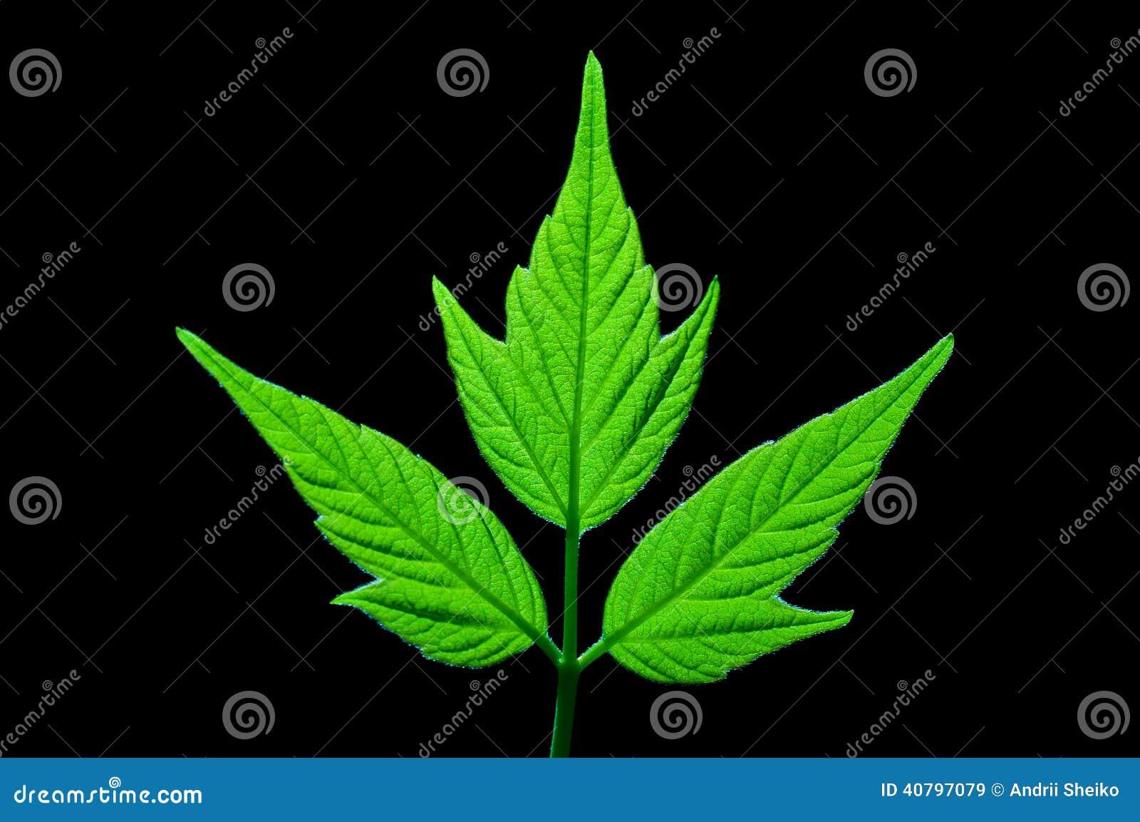 Foglia di acero verde immagine stock immagine di foresta for Foglia acero