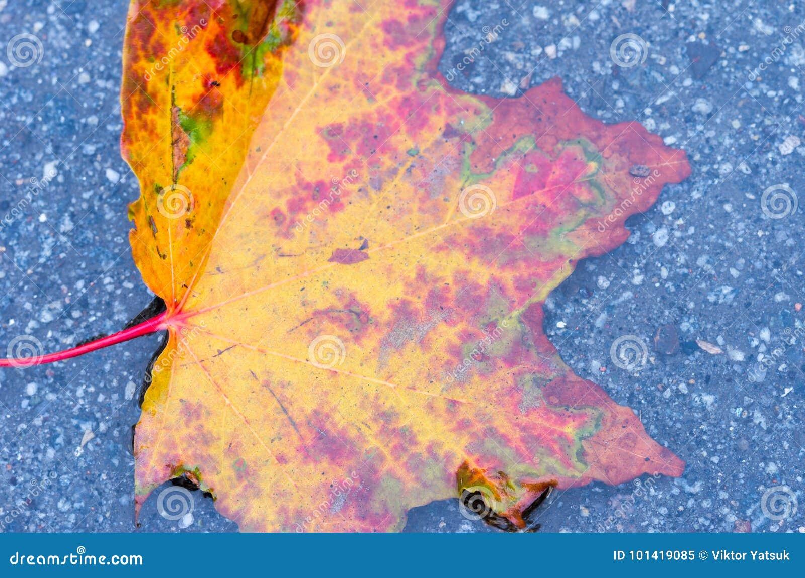 Foglia di autunno del bordeaux una foglia luminosa di - Foglia canadese contorno foglia canadese ...