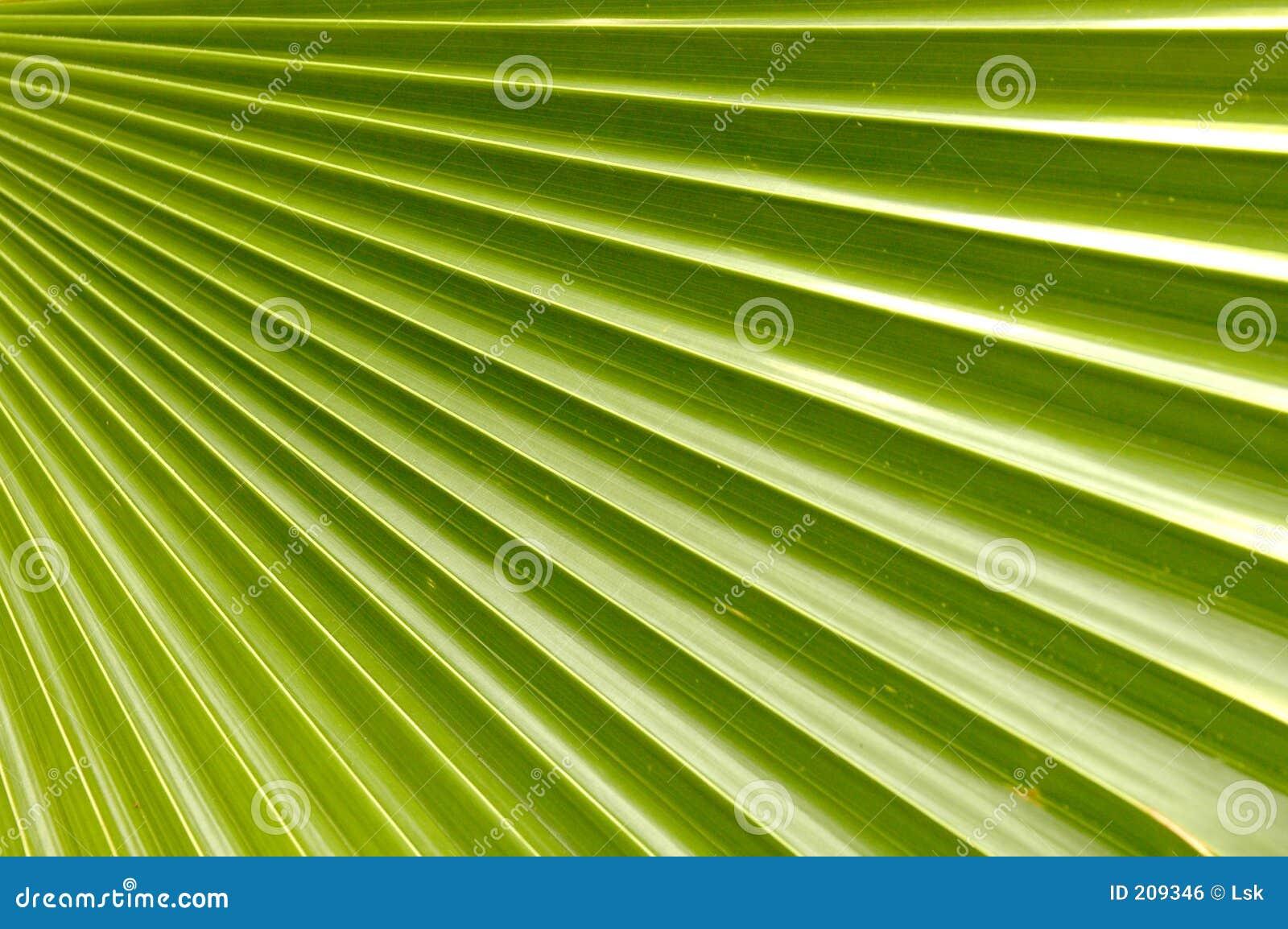 Foglia di palma della noce di cocco