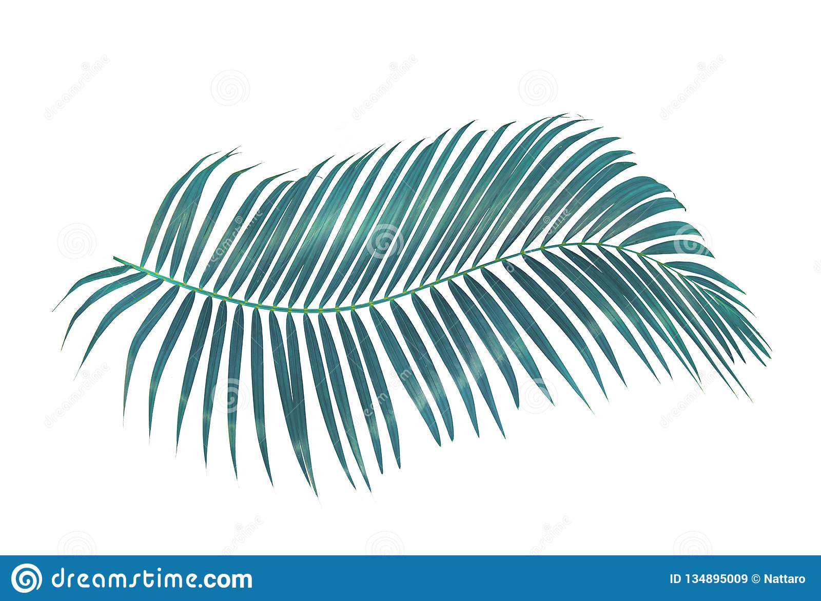 Foglia di palma verde isolata su fondo bianco con il percorso di ritaglio