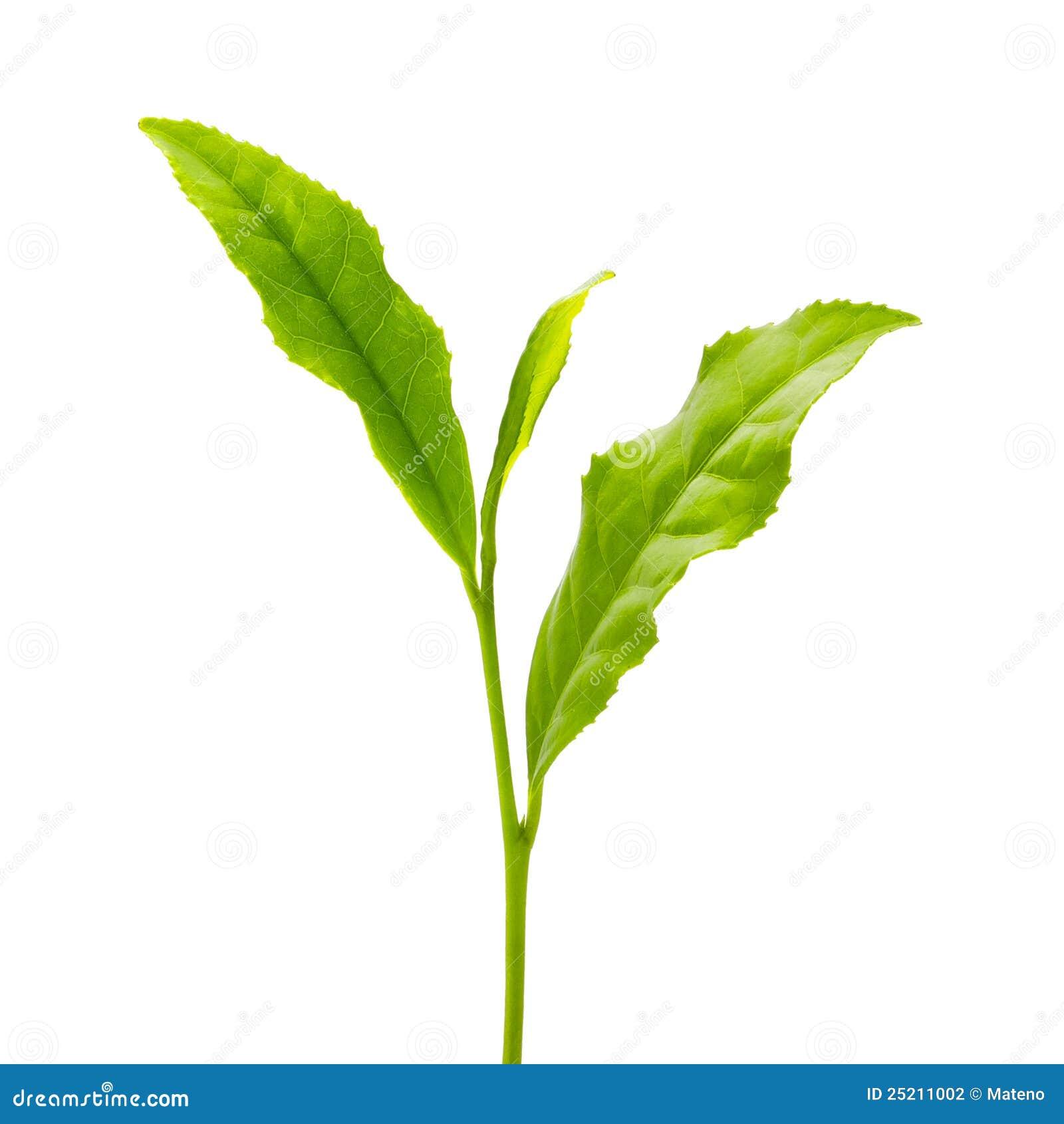 Foglia di tè verde