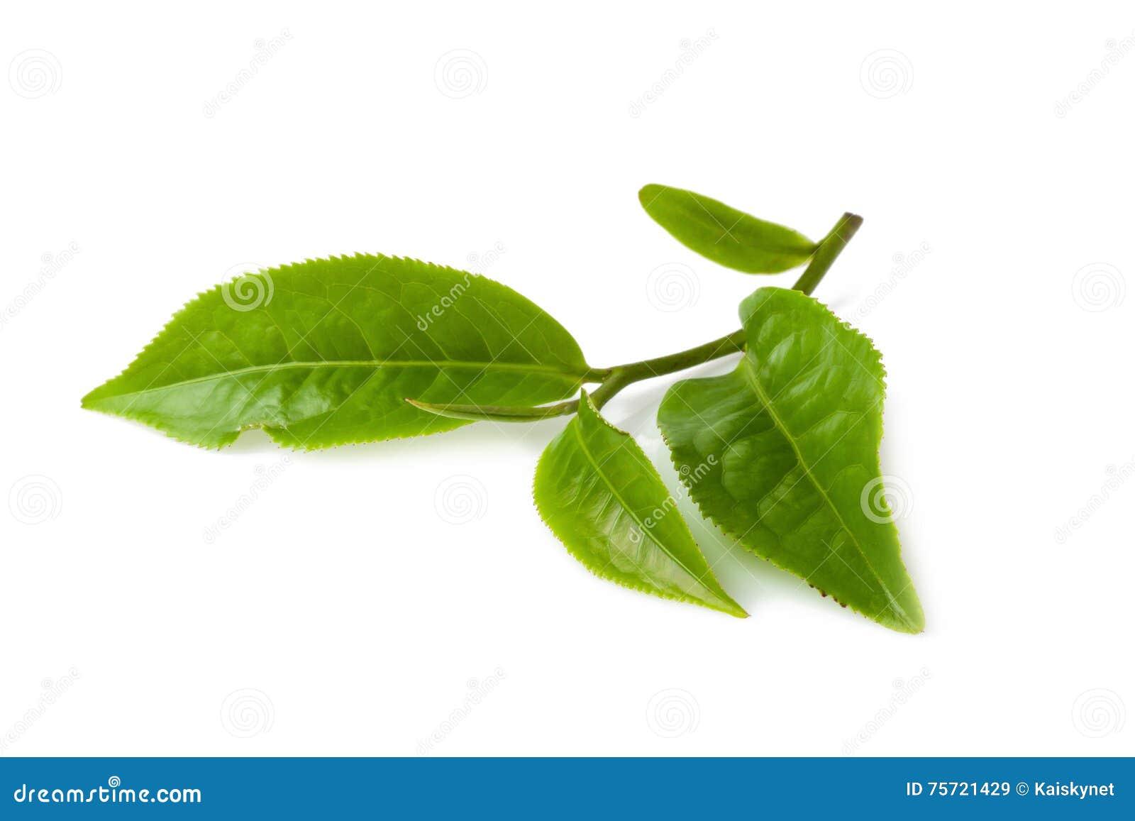 Foglia di tè verde isolata su fondo bianco