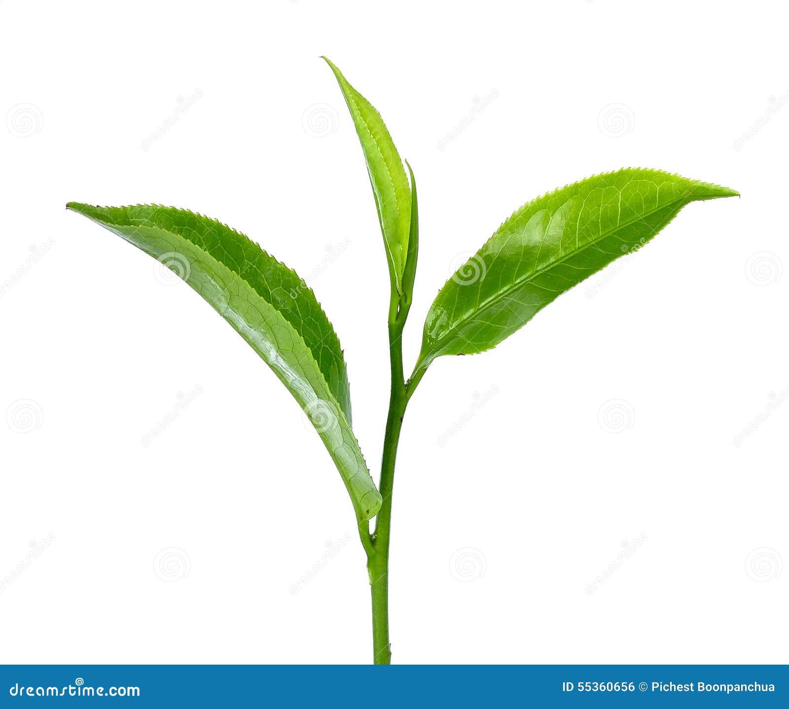 Foglia di tè verde isolata sui precedenti bianchi