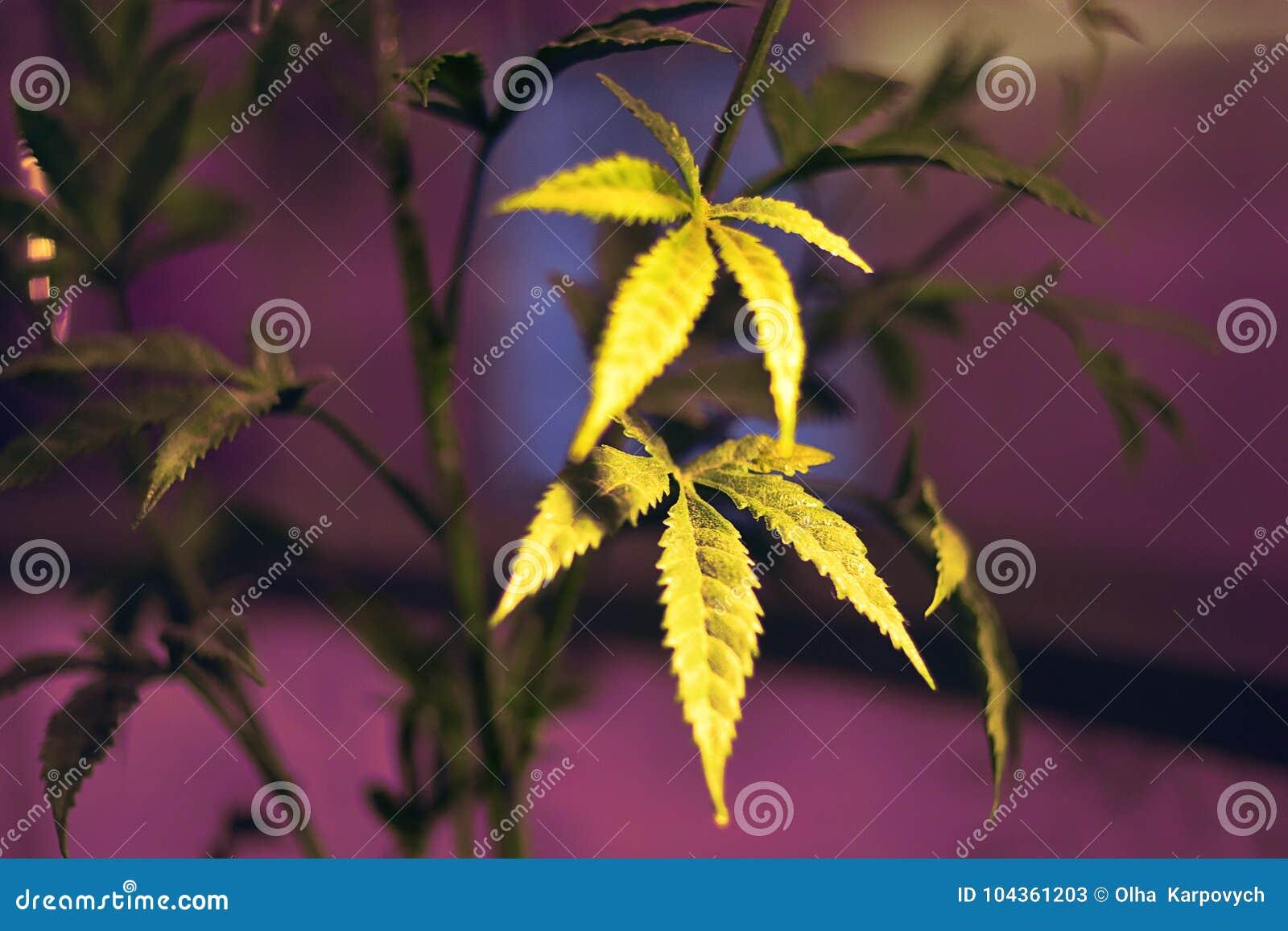 Foglia fresca verde della marijuana Giovane foglia della carta da parati del fondo della foglia della marijuana della MARIJUANA,