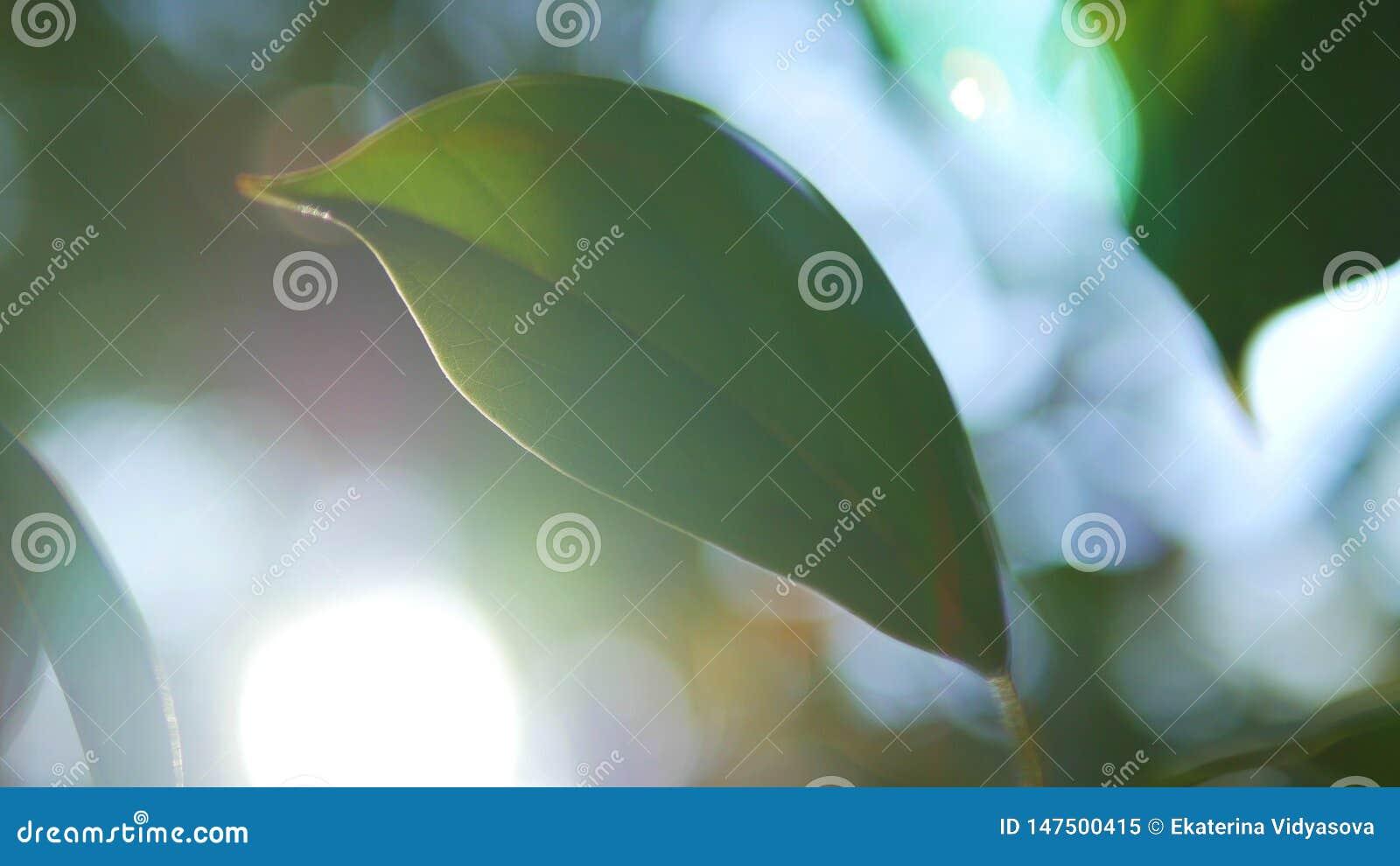 Foglia tropicale, primo piano eccellente su fondo vago di fogliame e del cielo Esponga al sole l abbagliamento, bokeh