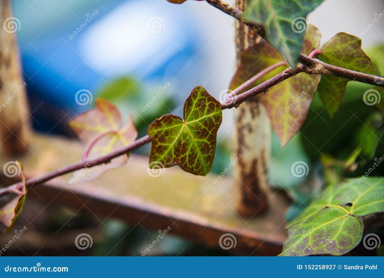 Foglia variopinta dell edera in un recinto metallico