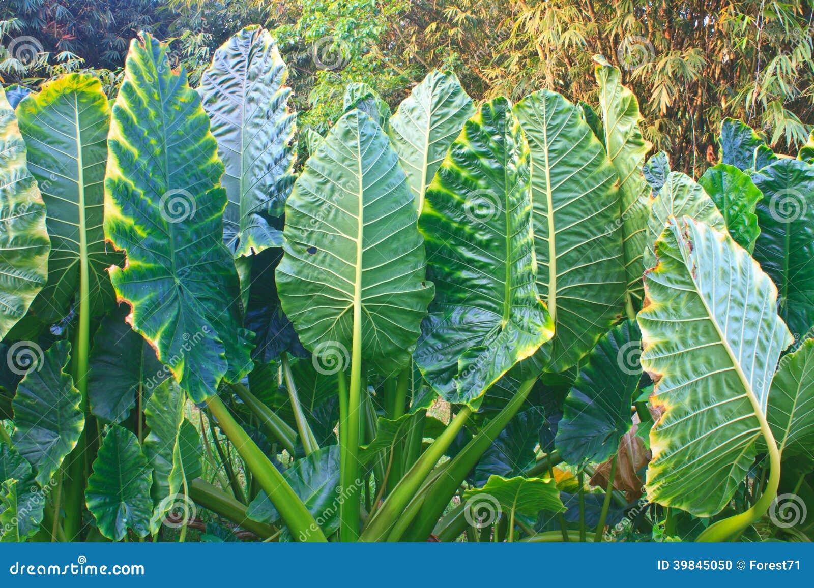 Foglia verde da una pianta dell 39 orecchio di elefante - Elefante foglio di colore dell elefante ...