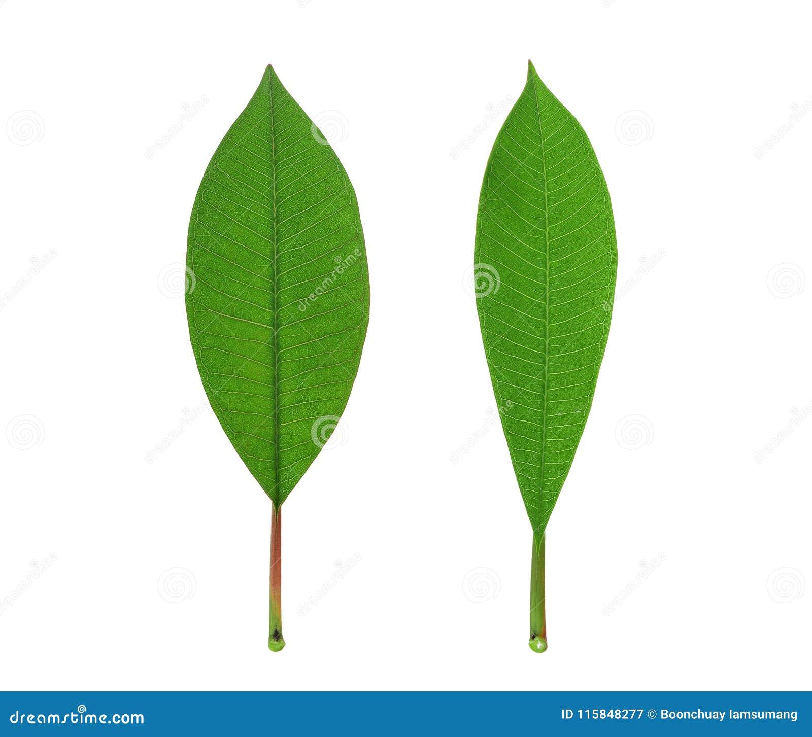 Foglia verde del frangipane isolata su bianco