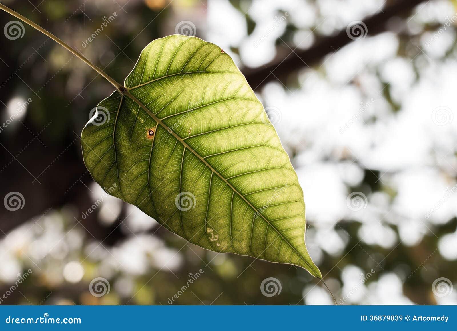 Download Foglia Verde Dell'albero Di Bodhi Immagine Stock - Immagine di autunno, spiritoso: 36879839