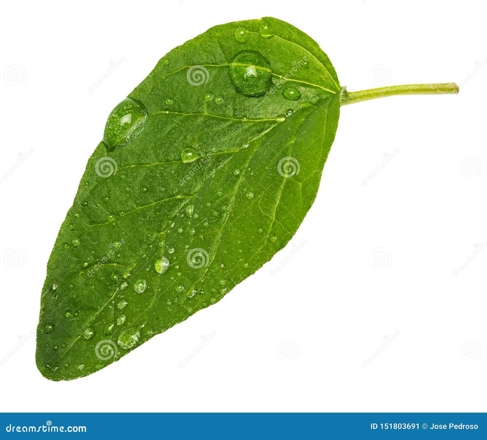Foglia verde e fresca complementare della spezia dell origano Con le micro gocce di acqua