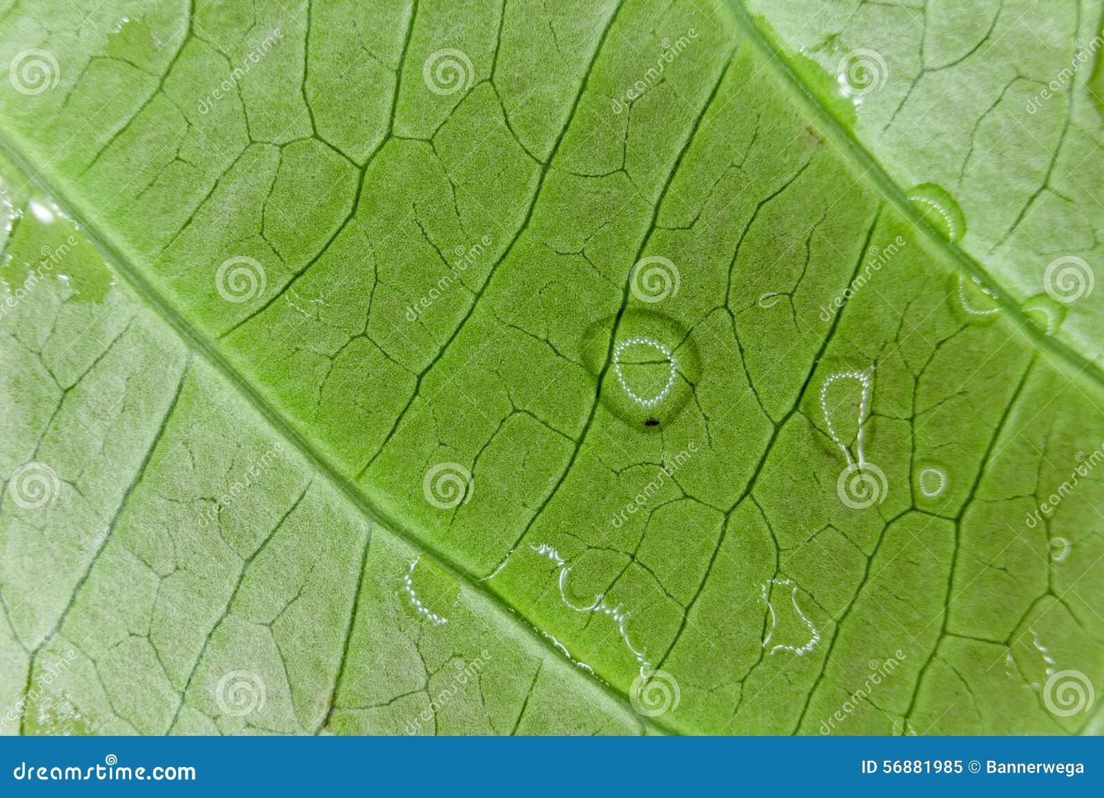 Foglia verde fresca