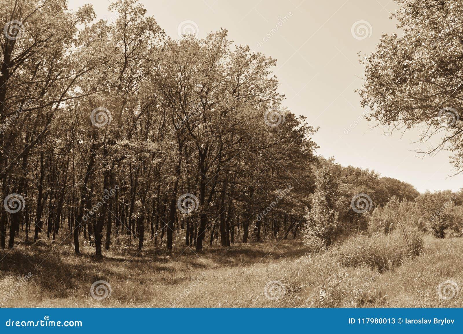 Download Fogliame Degli Alberi Della Steppa Immagine Stock - Immagine di nero, luminoso: 117980013