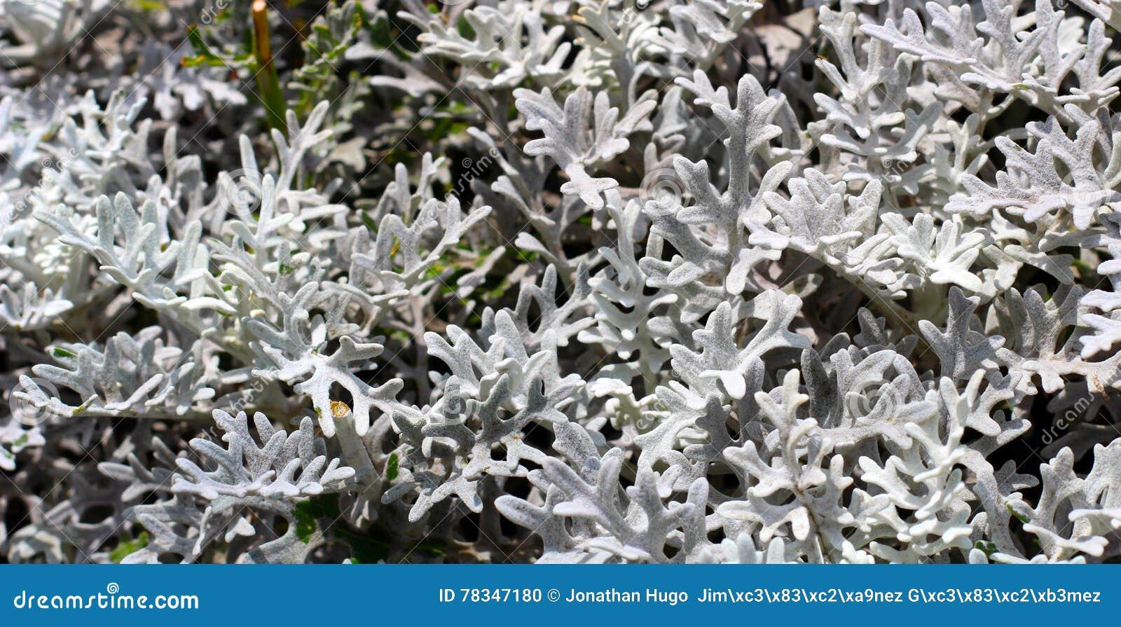 Foglie bianche della pianta