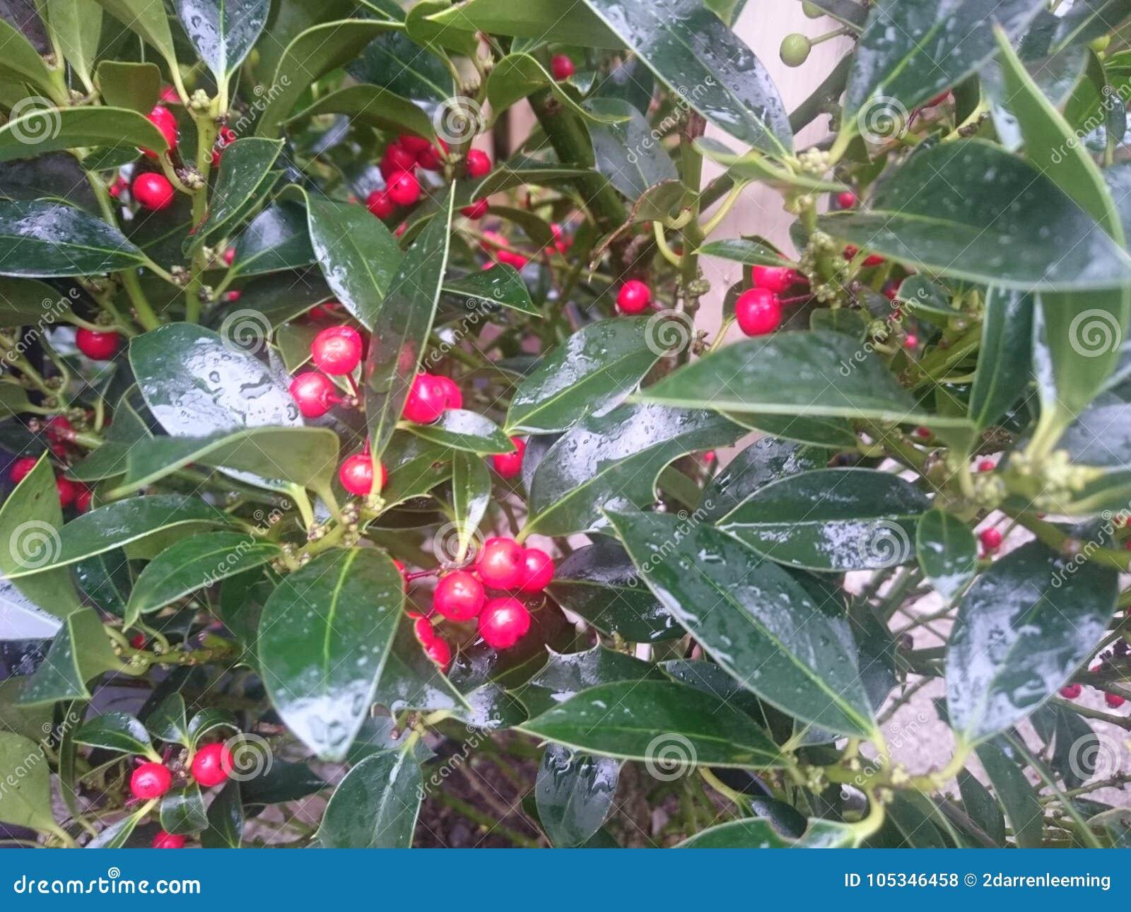Albero Con Bacche Rosse foglie dell'albero di agrifoglio con le bacche rosse