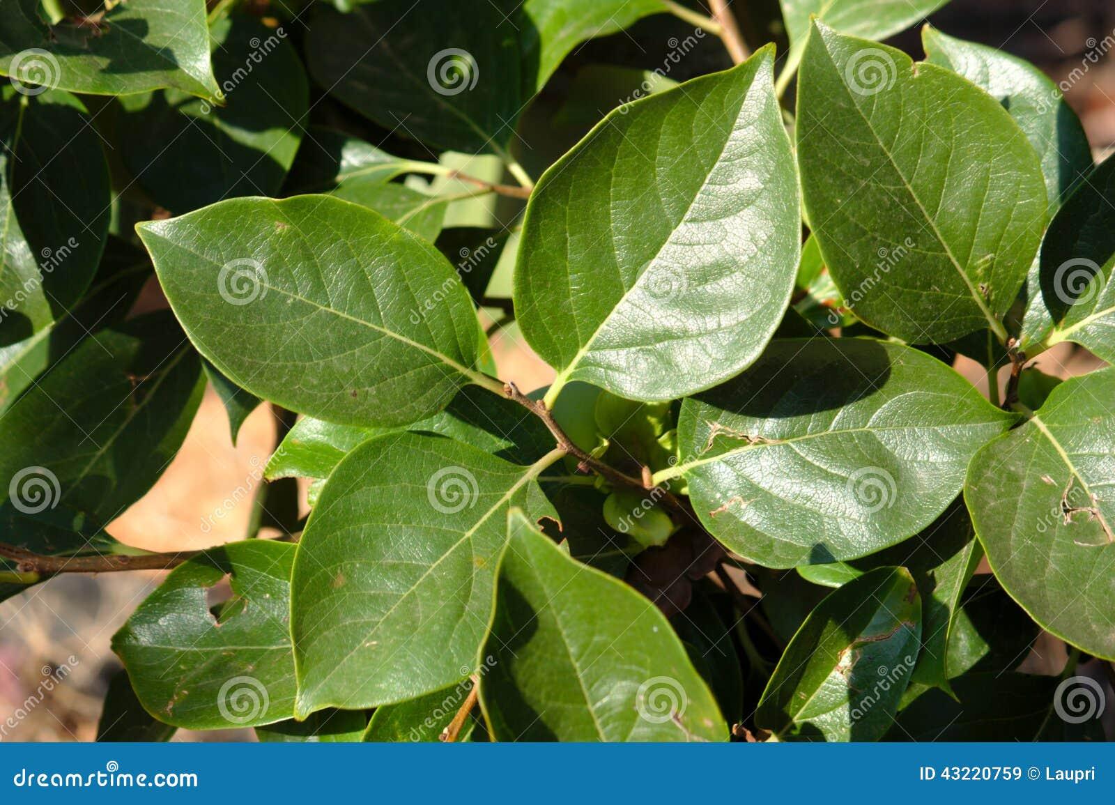 Foglie dell 39 albero di cachi fotografia stock immagine for Albero di cachi