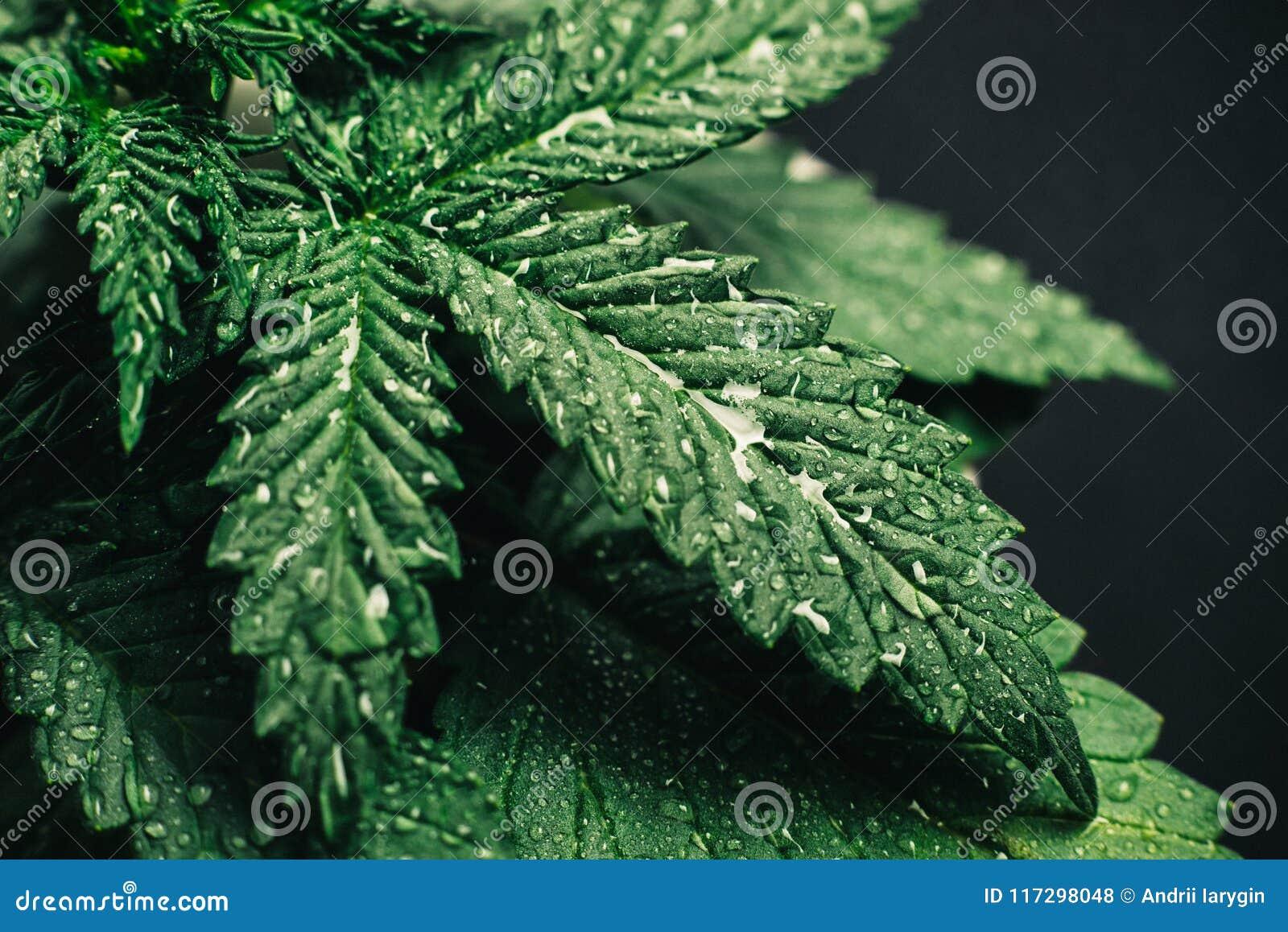 Foglie della marijuana, bello fondo della cannabis