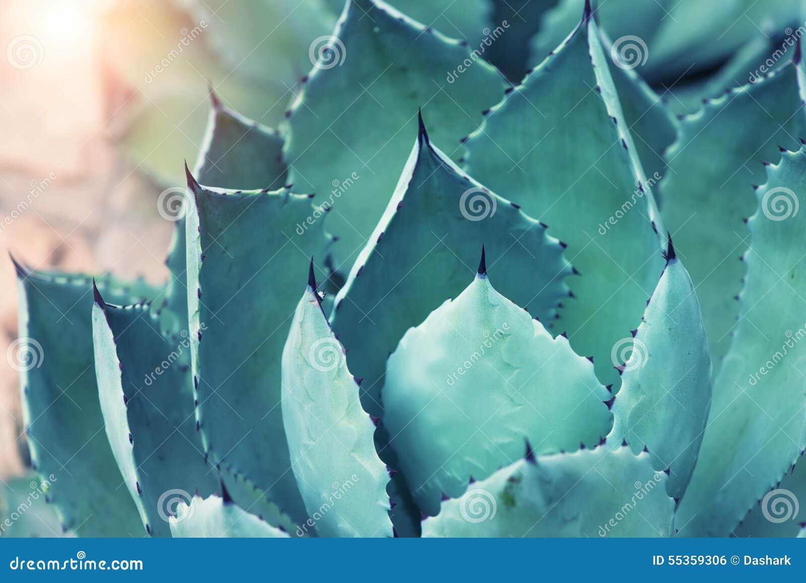 Foglie della pianta dell agave