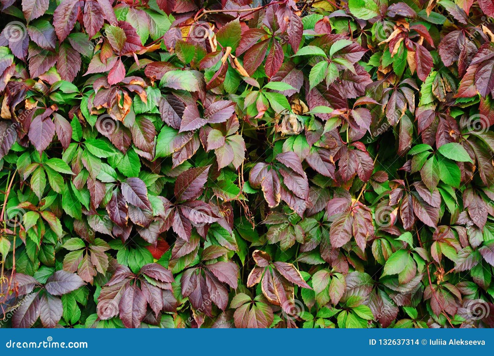Foglie della pianta ornamentale della cobite nella caduta