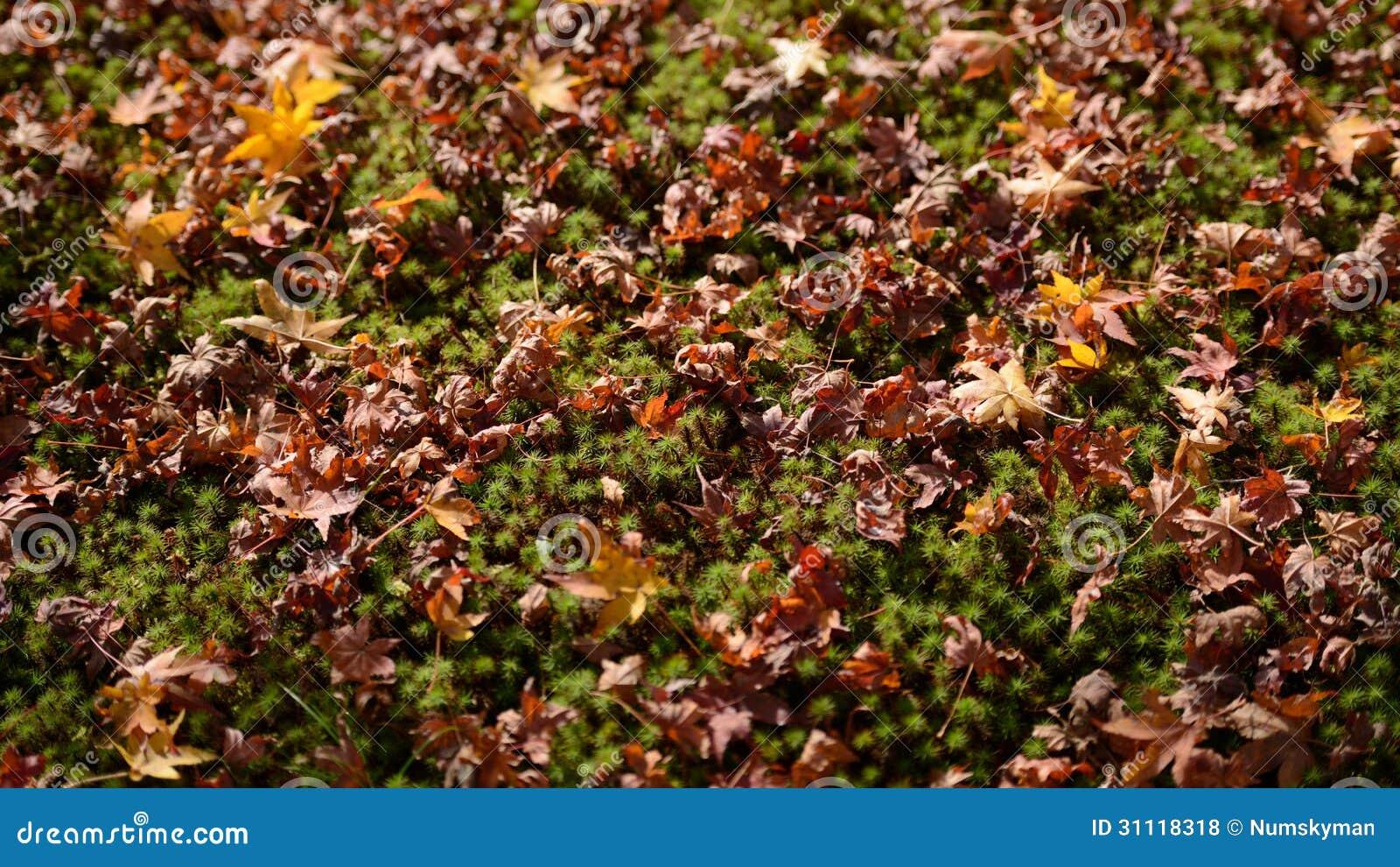 Foglie di acero di autunno sulla terra della pianta verde for Pianta da pavimento verde