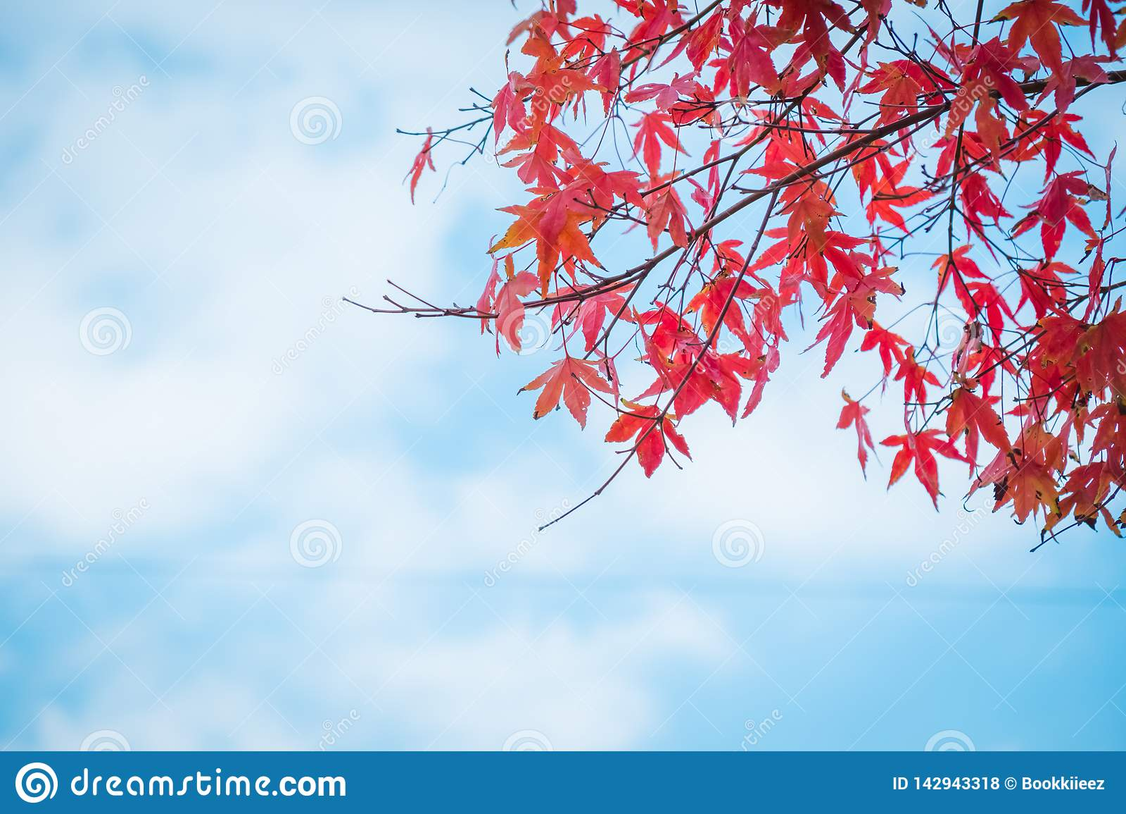 Foglie di acero rosse con cielo blu e la nuvola nella stagione di autunno