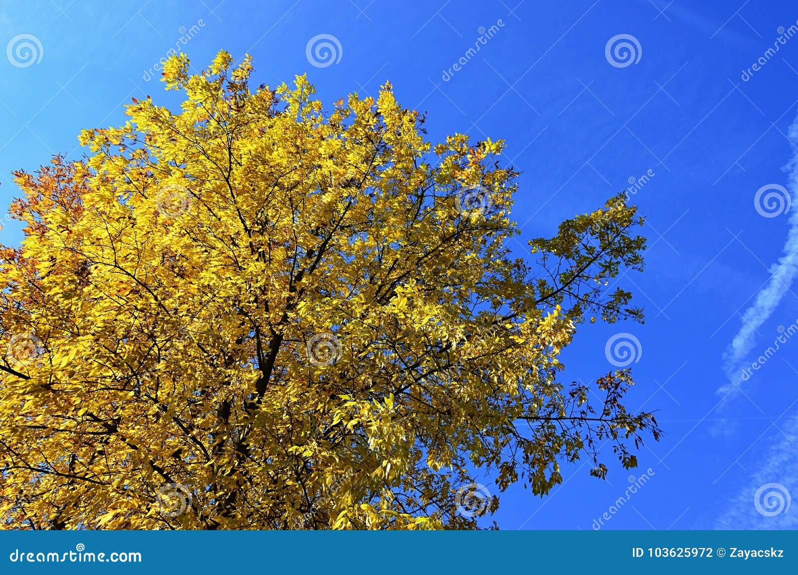 Foglie di autunno gialle sul grande albero a foglia larga contro cielo blu luminoso, sole di chiaro giorno di pomeriggio