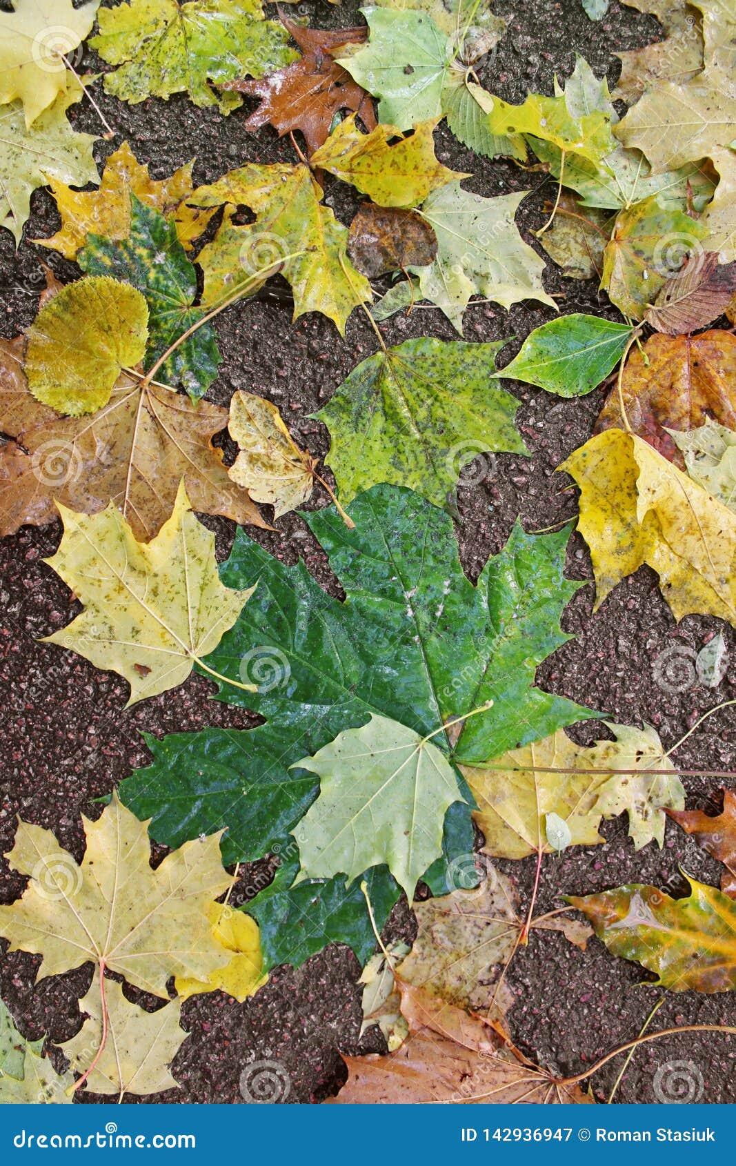 Foglie di autunno su asfalto Fondo
