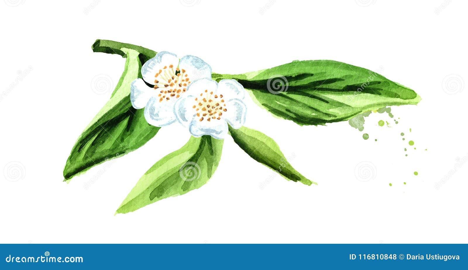 Foglie di tè verdi con i fiori Illustrazione disegnata a mano dell acquerello, isolata su fondo bianco