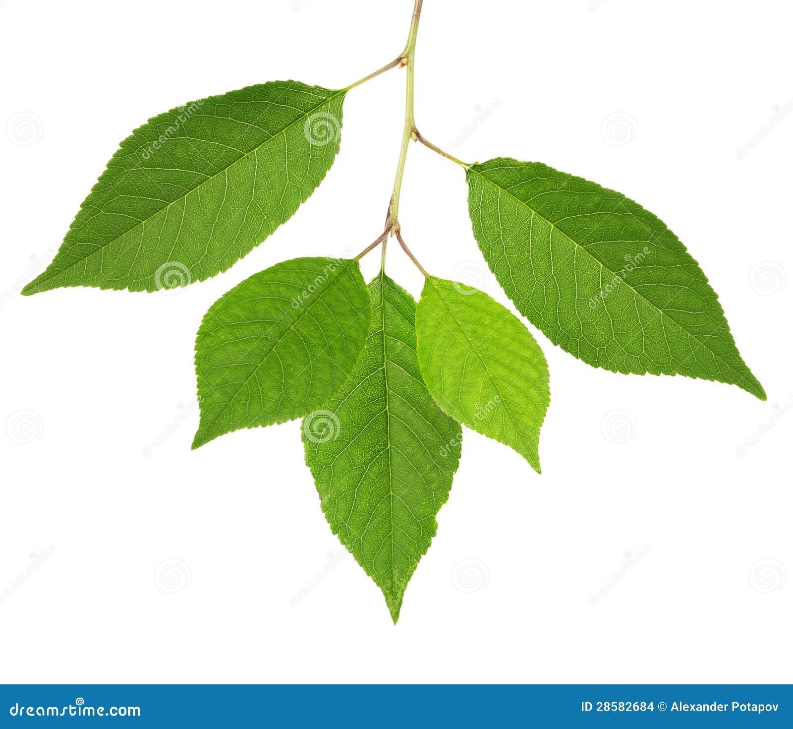 foglie di verde del ciliegio isolate su bianco immagini