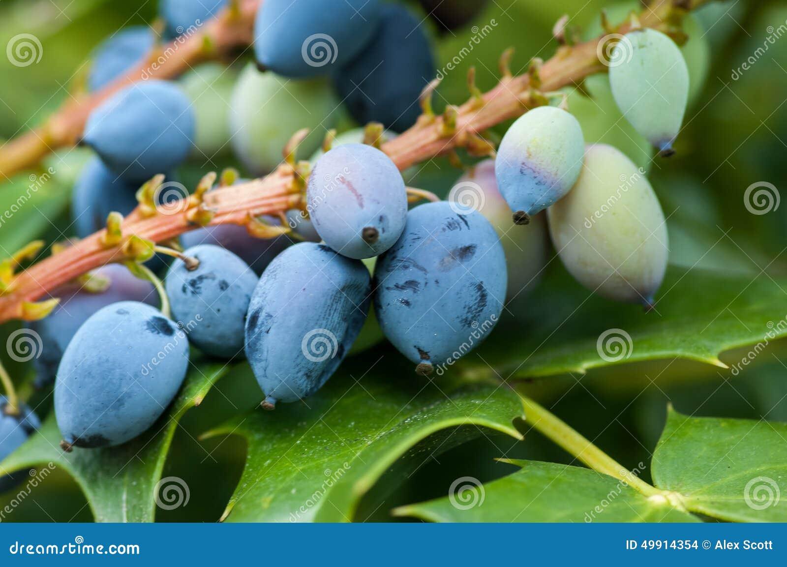 Foglie e frutta dell uva di Oregon