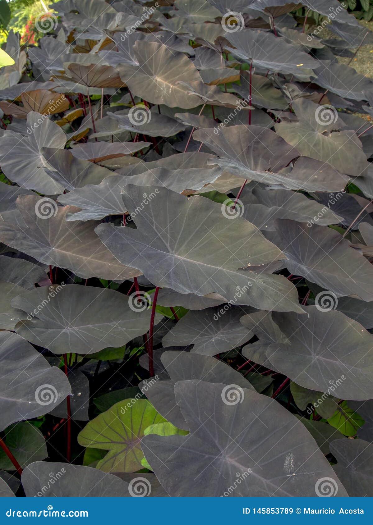 Foglie in forma di cuore della pianta magica nera