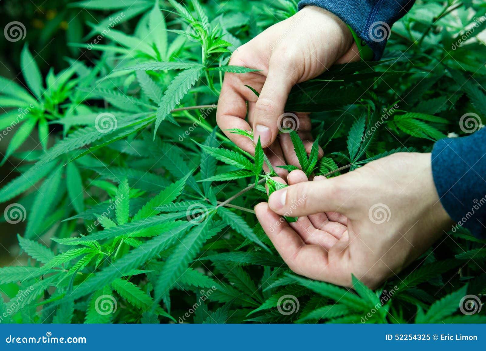 Foglie mediche della marijuana