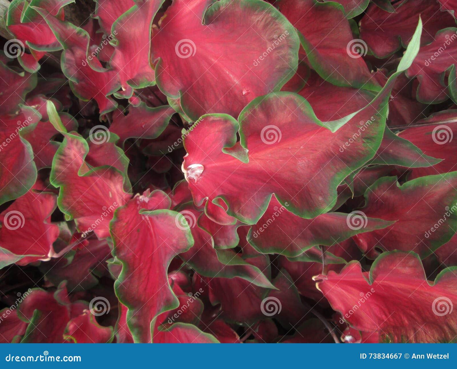 Pianta Foglie Rosse E Verdi foglie rosse e verdi del caladium immagine stock - immagine