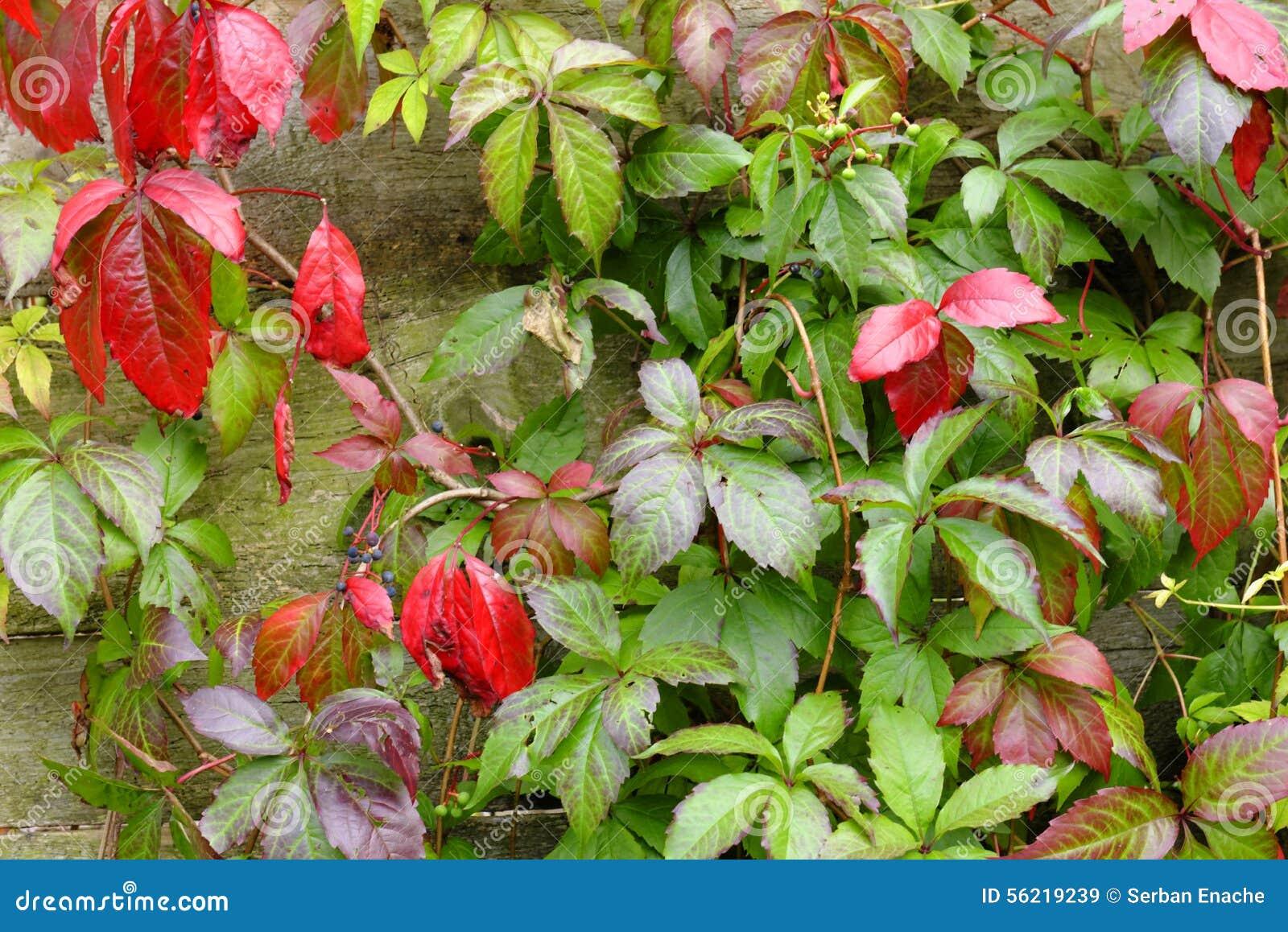 Pianta Foglie Rosse E Verdi foglie rosse e verdi del parthenocissus immagine stock
