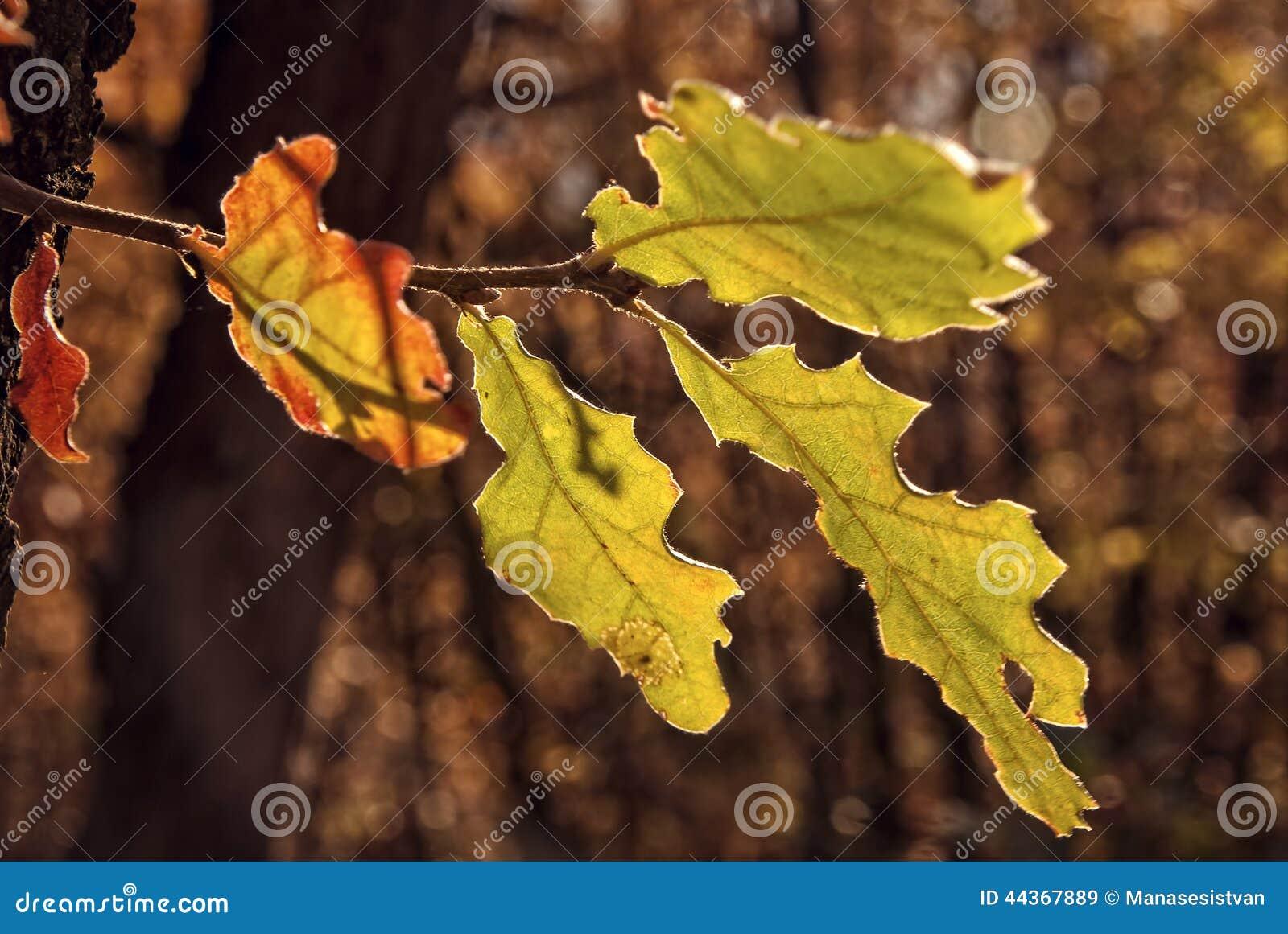 Foglie variopinte della quercia in autunno