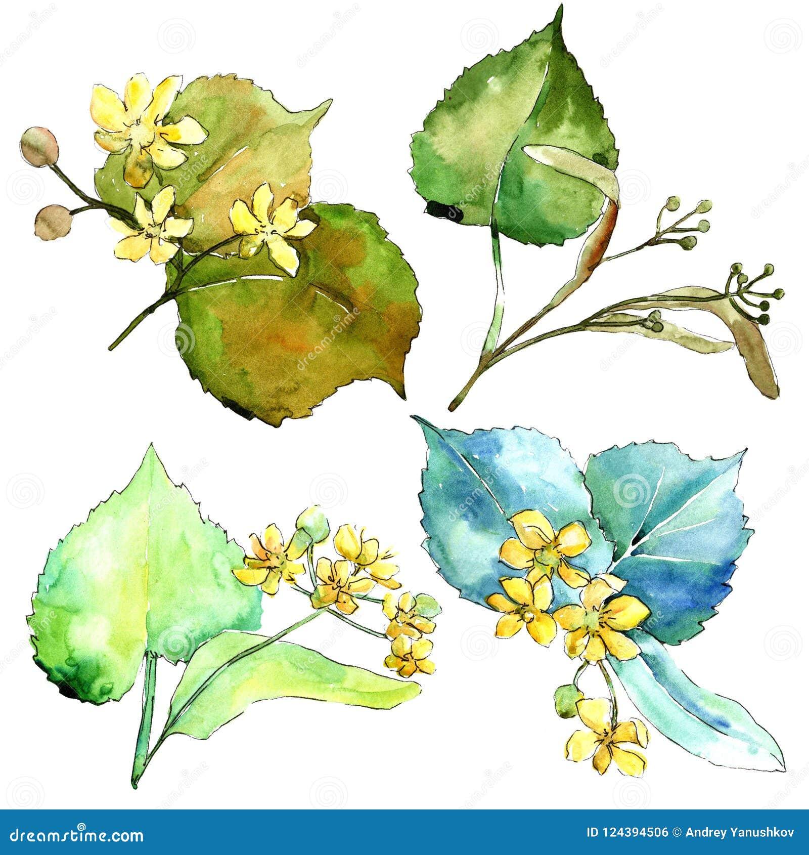 Foglie verdi del tiglio dell acquerello Fogliame floreale del giardino botanico della pianta della foglia Elemento isolato dell i